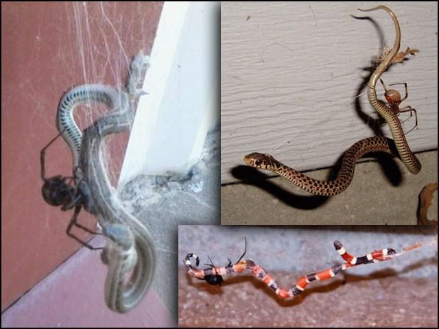 مکڑیوں کی 40 اقسام ایسی دیکھی گئی ہیں جو سانپوں کا شکار کرکے انہیں کھا جاتی ہیں۔ (تصاویر: جرنل آف اراکنالوجی)
