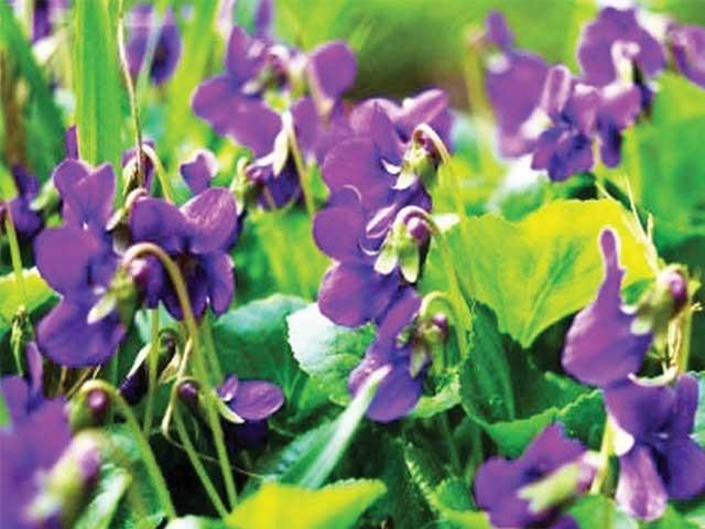 مختلف عوارض میں 'بنفشہ کے پھول' نہایت سریع الاثر ثابت ہوتے ہیں ۔  فوٹو : فائل
