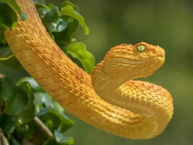 تصویر میں دنیا کا خطرناک ترین لینس ہیڈ سانپ نمایاں ہے جس کے زہر سے خون روکنے والی گوند تیار کی گئی ہے۔ فوٹو: وکی میڈیا کامنز