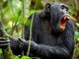 گبون کے نیشنل پارک میں پہلی مرتبہ چمپانزیوں نے گوریلا کے خاندان پر حملہ کیا اور ان کے دو بچے مارڈالے، یہ ایک انوکھا واقعہ قرار دیا جارہا ہے۔ فوٹو: فائل