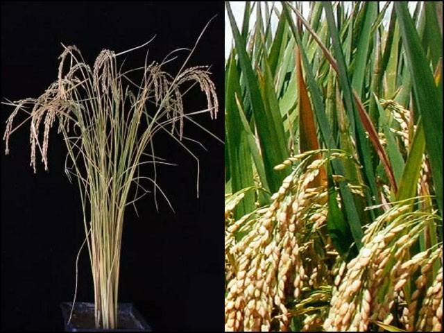 اس تکنیک کی مدد سے پاکستان میں چاول کی اوسط فی ایکڑ پیداوار 1350 کلوگرام سے بڑھا کر 1960 کلوگرام تک پہنچائی جاسکے گی۔ (تصاویر: نیچر بایوٹیکنالوجی)