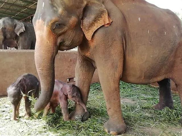 سری لنکا میں 80 برس بعد جڑواں ہاتھیوں کی پیدائش ہوئی ہے جس پر لوگوں نے خوشی کا اظہار کیا ہے۔ فوٹو: اے ایف پی