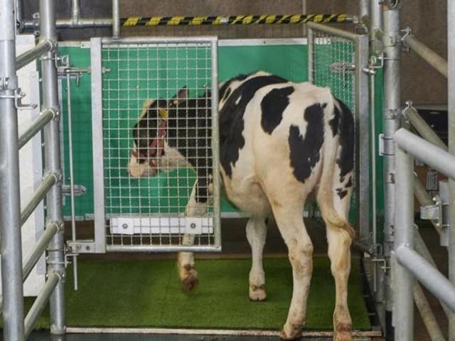 گائے کے فضلے سے خارج ہونے والی امونیا مٹی کے ساتھ مل کر مضرگیس نائٹروس آکسائیڈ میں تبدیل ہوجاتی ہے، تحقیق۔(فوٹو: انٹر نیٹ)