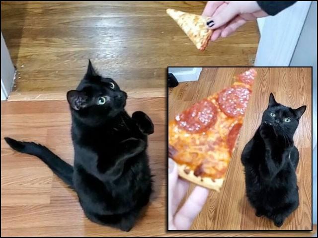 انسان سے کھانا مانگنے کےلیے یہ بلی اپنے اگلے پنجے بالکل کسی بھکاری کی ہتھیلی کی طرح پھیلا دیتی ہے۔ (فوٹو: سوشل میڈیا)