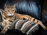 بلی دنیا کا سب سے عام پالتو جانور ہے، لیکن کتے کے مقابلے میں اسے کم حساس سمجھا جاتا ہے۔ (فوٹو: انٹرنیٹ)