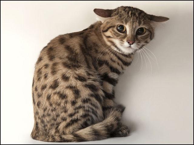 صرف 8 سے 10 انچ جسامت کے باوجود 'سیاہ پیروں والی افریقی بلی' دنیا کے خطرناک ترین شکاری جانوروں میں شمار ہوتی ہے۔ (تصاویر: متفرق ویب سائٹس)