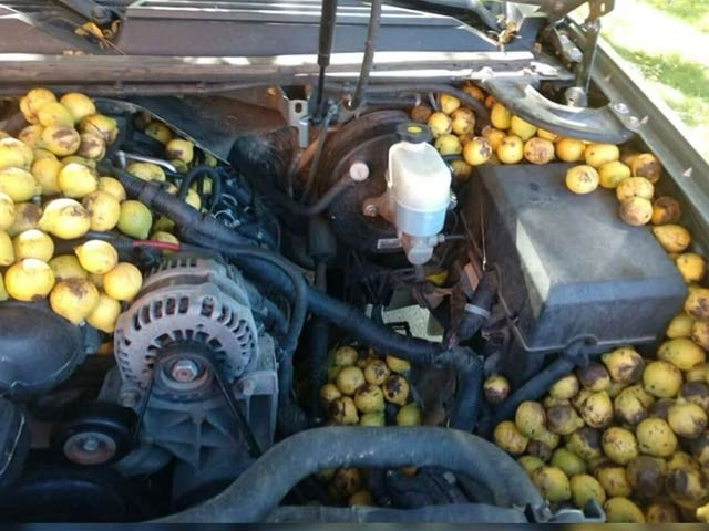 شمالی ڈکوٹا کے ایک شخص کی گاڑی چند روز بے کار کھڑی رہی تو صرف ایک گلہری نے اس میں ہزاروں اخروٹ کے ڈھیر لگادیئے۔ فوٹو: لوکل 12 ویب سائٹ