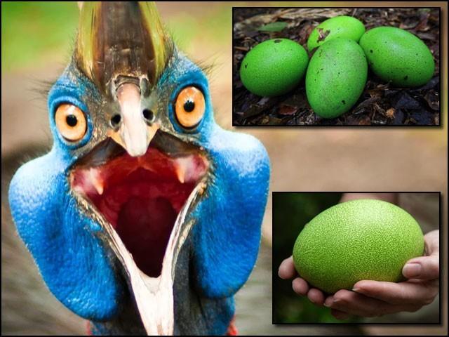 کسوری کہلانے والا یہ پرندہ اپنے لمبے، مضبوط اور خنجر جیسے نوکیلے پنجوں سے کھال ادھیڑ سکتا ہے۔ (تصاویر: متفرق ویب سائٹس)