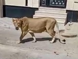 سعودی وائلڈ لائف حکام نے شیر کو بے ہوشی کا انجکشن لگانے کے بعد شیلٹر ہوم منتقل کردیا۔