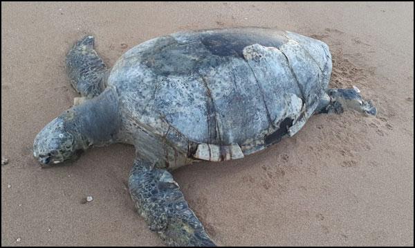 بلوچستان کی ساحلی پٹی، اب کچھووں کےلیے غیر محفوظ thumbnail